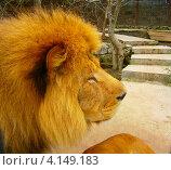 Портрет льва в профиль. Стоковое фото, фотограф Андрей Сериков / Фотобанк Лори