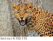 Купить «Леопард скалится», фото № 4150115, снято 16 сентября 2012 г. (c) Эдуард Кислинский / Фотобанк Лори