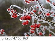 Купить «Ветки рябины с ягодами во льду», фото № 4150163, снято 18 ноября 2012 г. (c) Эдуард Кислинский / Фотобанк Лори
