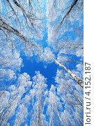 Заснеженные ветви берез на фоне синего неба. Стоковое фото, фотограф Башарин Алексей / Фотобанк Лори