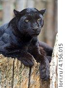 Купить «Черная пантера», фото № 4156015, снято 5 августа 2012 г. (c) Эдуард Кислинский / Фотобанк Лори