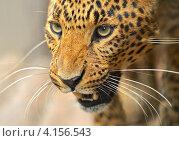 Купить «Леопард, крупный портрет», фото № 4156543, снято 24 июня 2012 г. (c) Эдуард Кислинский / Фотобанк Лори