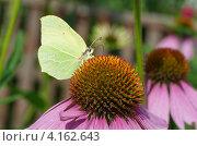 Купить «Бабочка лимонница (Gonepteryx rhamni) собирает нектар на цветке эхинацеи пурпурной (Echinacea purpurea)», эксклюзивное фото № 4162643, снято 27 июля 2012 г. (c) Елена Коромыслова / Фотобанк Лори