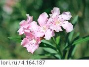 Купить «Цветущий Олеандр (Nerium)», фото № 4164187, снято 11 декабря 2012 г. (c) Татьяна Белова / Фотобанк Лори