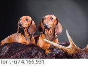 Купить «Две рыжие таксы с охотничьим трофеем», фото № 4166931, снято 19 декабря 2012 г. (c) Irina Danilova / Фотобанк Лори