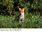 Лисица обыкновенная в зарослях травы. Стоковое фото, фотограф Александр Масалев / Фотобанк Лори
