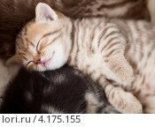 Купить «Спящие британские котята», фото № 4175155, снято 16 апреля 2012 г. (c) Андрей Кузьмин / Фотобанк Лори