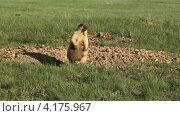 Встревоженная самка сурка. Стоковое видео, видеограф Леонид Замыцкий / Фотобанк Лори