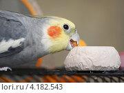 Купить «Попугай ест мел», эксклюзивное фото № 4182543, снято 7 января 2013 г. (c) Dmitry29 / Фотобанк Лори