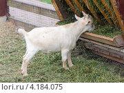 Купить «Маленький козленок ест из кормушки», фото № 4184075, снято 10 июля 2012 г. (c) Сергей Лаврентьев / Фотобанк Лори