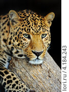 Купить «Портрет леопарда на тёмном фоне», фото № 4184243, снято 30 сентября 2012 г. (c) Эдуард Кислинский / Фотобанк Лори