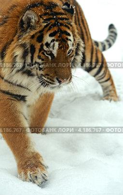 Купить «Сибирский тигр идет по снегу», фото № 4186767, снято 8 января 2013 г. (c) Эдуард Кислинский / Фотобанк Лори