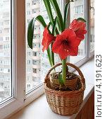 Купить «Красный гиппеаструм на окне», фото № 4191623, снято 20 декабря 2012 г. (c) Олеся Сарычева / Фотобанк Лори
