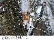 Купить «Рыжая белочка на ветках зимой», эксклюзивное фото № 4194143, снято 28 декабря 2010 г. (c) lana1501 / Фотобанк Лори