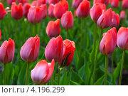 Купить «Розовые тюльпаны на поле крупным планом», фото № 4196299, снято 10 мая 2012 г. (c) Яков Филимонов / Фотобанк Лори