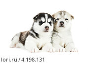 Купить «Два щенка сибирской хаски на белом фоне», фото № 4198131, снято 14 января 2012 г. (c) Дмитрий Калиновский / Фотобанк Лори
