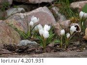 Крокусы на альпийской горке. Стоковое фото, фотограф Ольга Прокопова / Фотобанк Лори