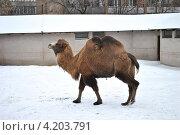 Купить «Верблюд в московском зоопарке», эксклюзивное фото № 4203791, снято 1 января 2013 г. (c) lana1501 / Фотобанк Лори