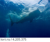 Купить «Китовая акула (Whale shark) всасывает воду», фото № 4205375, снято 10 мая 2012 г. (c) Сергей Дубров / Фотобанк Лори