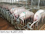Купить «Свиньи во время кормления на ферме», фото № 4207315, снято 30 августа 2012 г. (c) Дмитрий Калиновский / Фотобанк Лори