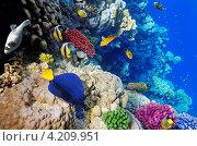 Купить «Разноцветные рыбы в Красном море, Египет», фото № 4209951, снято 8 сентября 2012 г. (c) Vitas / Фотобанк Лори