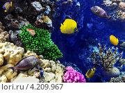 Купить «Яркие рыбки над кораллами в Красном море», фото № 4209967, снято 8 сентября 2012 г. (c) Vitas / Фотобанк Лори