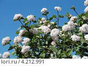 Купить «Калина боднантенская (Viburnum bodnantense )», эксклюзивное фото № 4212991, снято 12 мая 2010 г. (c) lana1501 / Фотобанк Лори