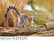Купить «Лемур в зоопарке», фото № 4213211, снято 14 октября 2008 г. (c) Андрей Дыкун / Фотобанк Лори