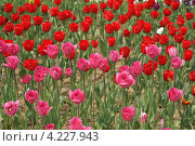 Купить «Сортовые красные и розовые садовые тюльпаны на поле», фото № 4227943, снято 16 апреля 2008 г. (c) Ольга Липунова / Фотобанк Лори