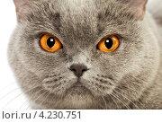 Британский короткошерстный кот. Стоковое фото, фотограф Петр Малышев / Фотобанк Лори