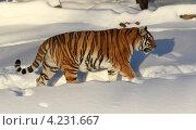 Купить «Амурский тигр в Московском зоопарке», эксклюзивное фото № 4231667, снято 26 апреля 2008 г. (c) Дмитрий Неумоин / Фотобанк Лори