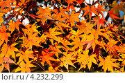 Красные и желтые листья клена. Стоковое фото, фотограф Виктор Андреев / Фотобанк Лори