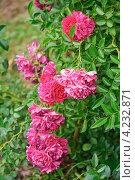 Плетистая роза Эксцельза. Стоковое фото, фотограф Алёшина Оксана / Фотобанк Лори