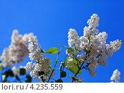 Купить «Белая сирень на фоне синего неба», фото № 4235559, снято 17 мая 2012 г. (c) Яков Филимонов / Фотобанк Лори