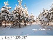 Купить «Хвойный зимний лес в ясную погоду», эксклюзивное фото № 4236387, снято 26 января 2013 г. (c) Игорь Низов / Фотобанк Лори