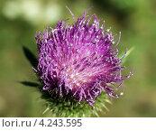 Купить «Цветок репейника на зеленом расплывчатом фоне», фото № 4243595, снято 18 августа 2006 г. (c) Евгений Ткачёв / Фотобанк Лори