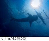 Купить «Силуэт китовой акулы и филиппинской лодки (банки) на фоне воды против солнца», фото № 4248003, снято 10 мая 2012 г. (c) Сергей Дубров / Фотобанк Лори