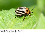 Купить «Колорадский жук (Leptinotarsa decemlineata) сидит на листе картофеля», эксклюзивное фото № 4249531, снято 11 июля 2012 г. (c) Елена Коромыслова / Фотобанк Лори