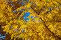 Желтая сибирская лиственница (лат. Lárix sibírica), растительный фон, фото № 4249999, снято 27 сентября 2009 г. (c) Виктория Катьянова / Фотобанк Лори