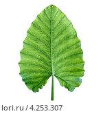 Один большой зеленый тропических лист. Стоковое фото, фотограф pzAxe / Фотобанк Лори