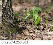 Купить «Молодые листья ландыша», эксклюзивное фото № 4255803, снято 30 апреля 2012 г. (c) Dmitry29 / Фотобанк Лори