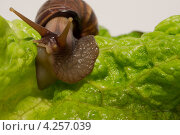Улитка на фоне листа зеленого салата. Стоковое фото, фотограф Рыбаков Сергей / Фотобанк Лори