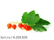 Купить «Ягоды и листья красной смородины на белом фоне», фото № 4258839, снято 27 июля 2008 г. (c) Иван Михайлов / Фотобанк Лори