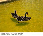 Пара черных лебедей в пруду. Стоковое фото, фотограф Тарасенко Татьяна / Фотобанк Лори