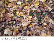 Осенние листья клена. Стоковое фото, фотограф Александр Онучин / Фотобанк Лори