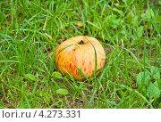 Купить «Упавшее яблоко во время дождя», фото № 4273331, снято 17 августа 2012 г. (c) Алёшина Оксана / Фотобанк Лори