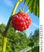 Купить «Ягода малины на веточке на фоне неба», фото № 4273511, снято 16 июля 2011 г. (c) Светлана Ильева (Иванова) / Фотобанк Лори