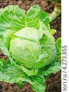 Купить «Капуста огородная (Brassica oleracea)», эксклюзивное фото № 4273855, снято 17 августа 2012 г. (c) Алёшина Оксана / Фотобанк Лори