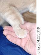 Купить «Лапа кота в человеческой руке», фото № 4273919, снято 6 февраля 2013 г. (c) Андрей Пашков / Фотобанк Лори