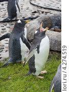 Купить «Папуанский пингвин с раскрытым клювом», эксклюзивное фото № 4274519, снято 4 октября 2012 г. (c) Шичкина Антонина / Фотобанк Лори